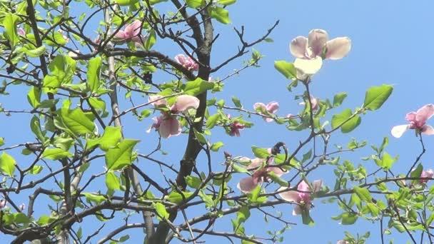 květy růžové magnólie