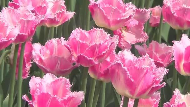 Záhonu s růžové tulipány