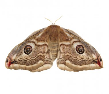 Emperor Moth (Saturnia pavonia) female, isolated on white