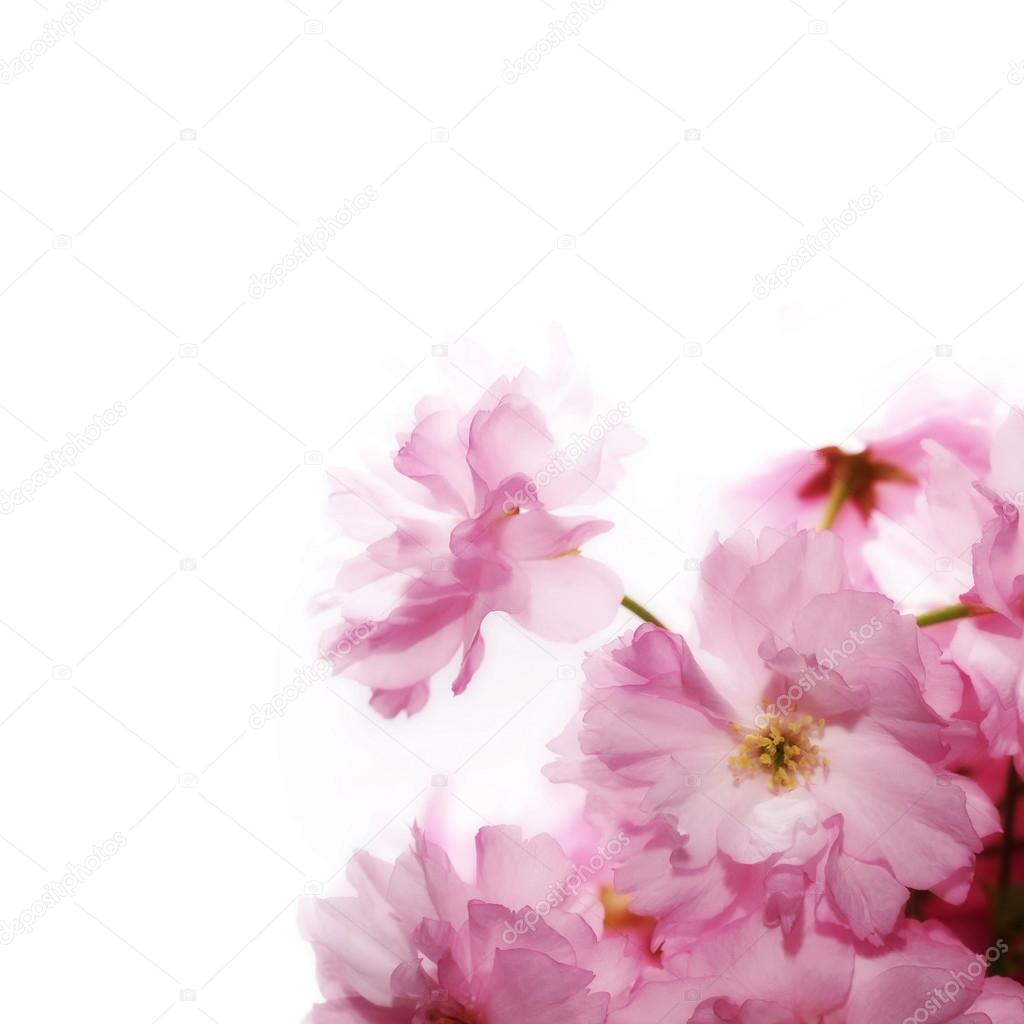 Spring flowering branches pink flowers no leaves blossoms spring flowering branches pink flowers no leaves blossoms isolated on white background mightylinksfo