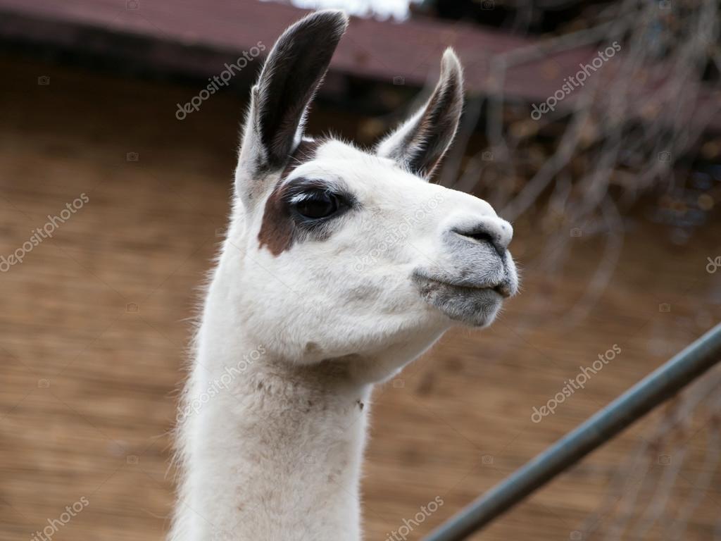 White Llama - head closeup