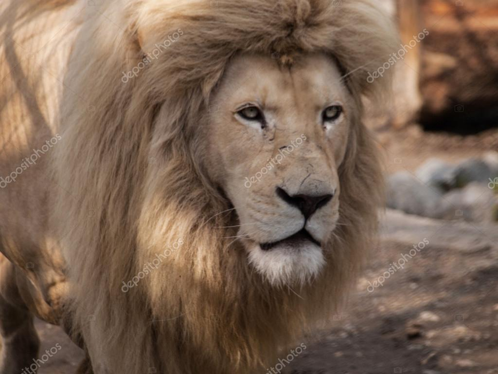 Male lion starring