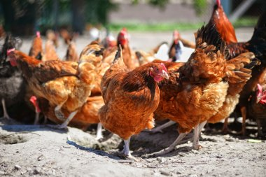 Chickens on traditional free range poultry farm