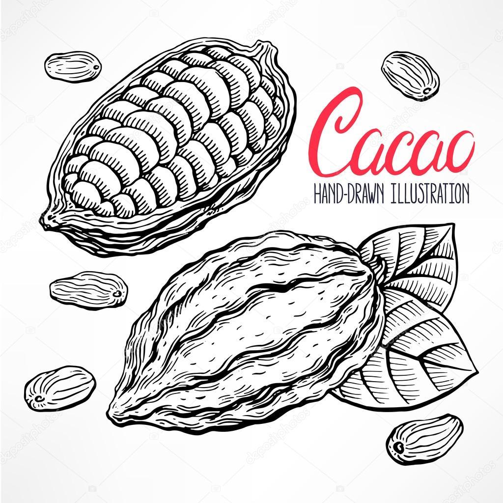 sketch cacao beans