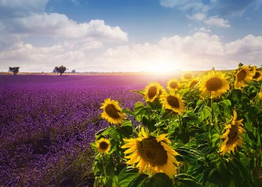 Lavender and sunflowers fields