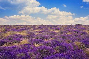 lavender wild fields