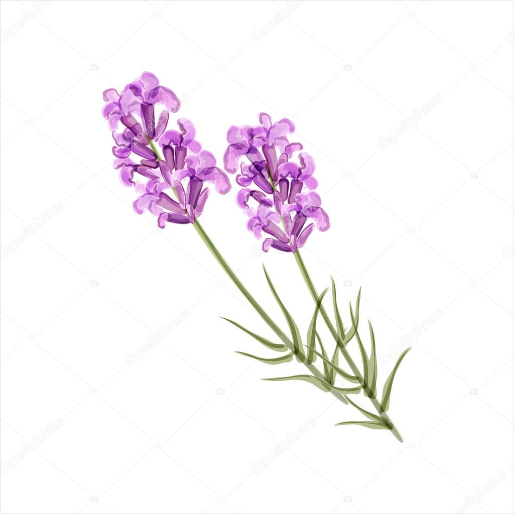 Lavender. Herb flower. Vector illustration
