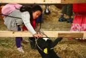 Mädchen Touch schwarze Kuh