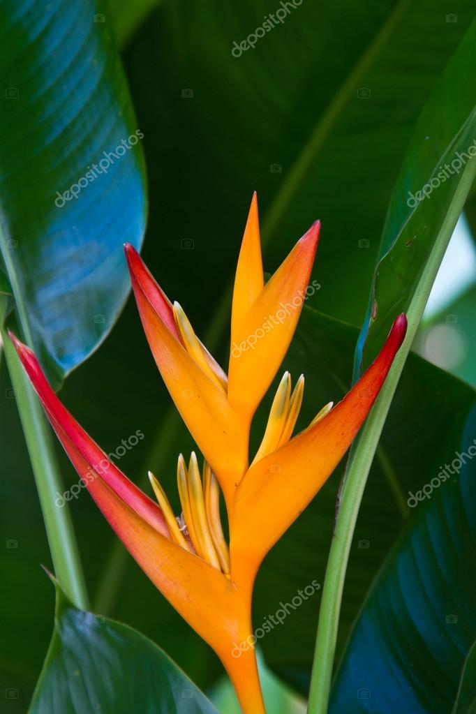 Heliconia flower on a tree
