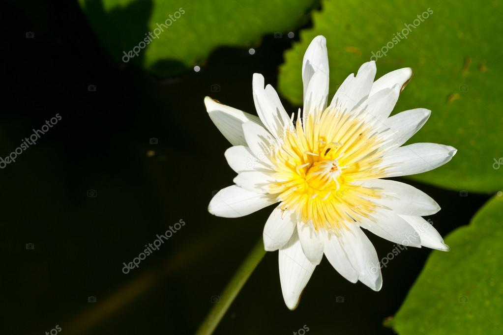 Water lily on Koh Ngai