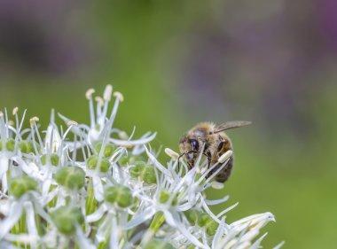 Bees on Allium sphaerocephalon
