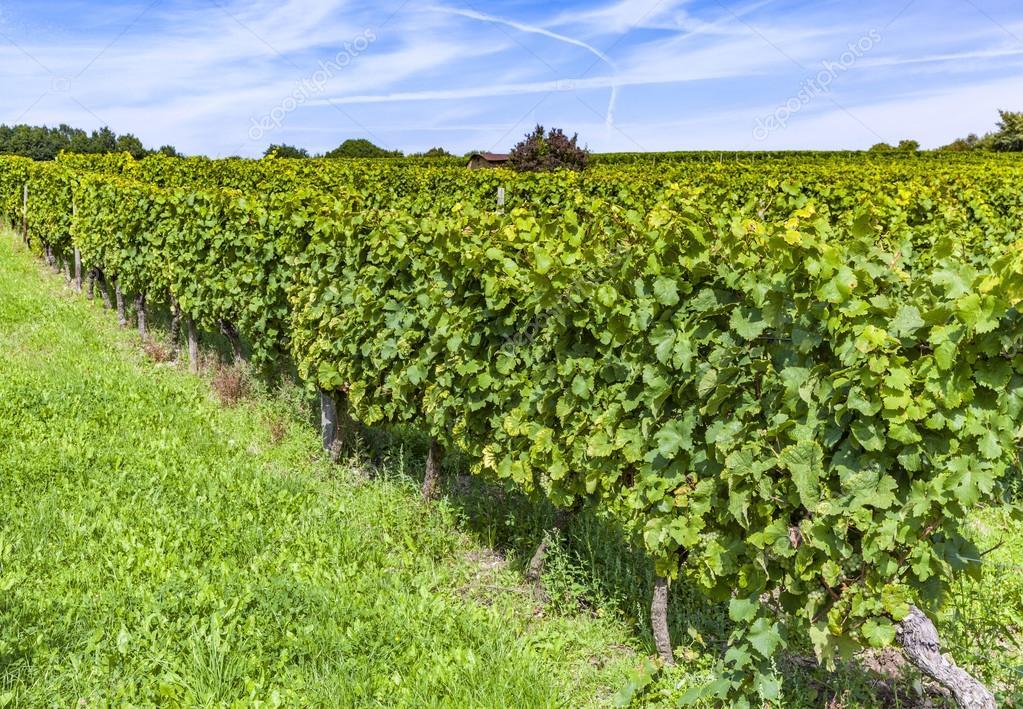 beautiful gapes in the vineyard
