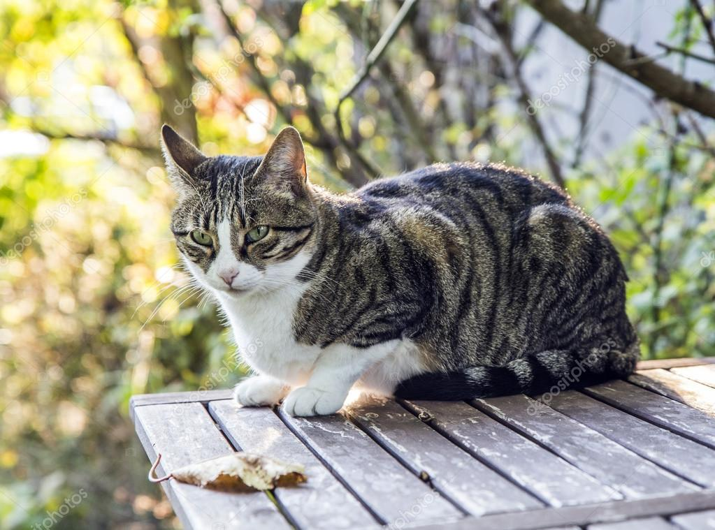 cat with blue eyes sitting on wooden table against green summer