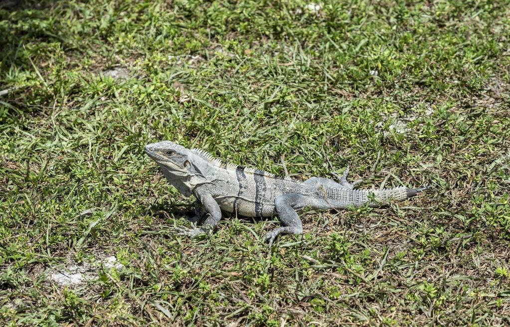 wild big lizard