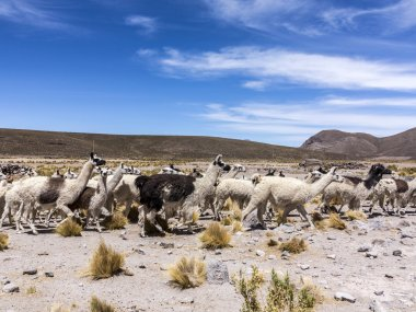 herd of running llamas in the Andes
