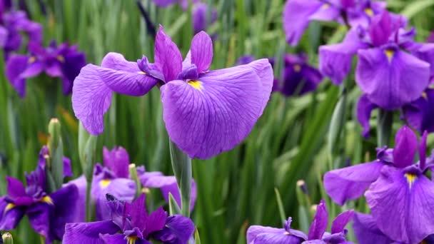 Flowers of blueflag