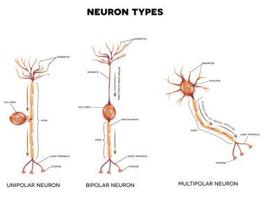 Neuron types, nerve cells