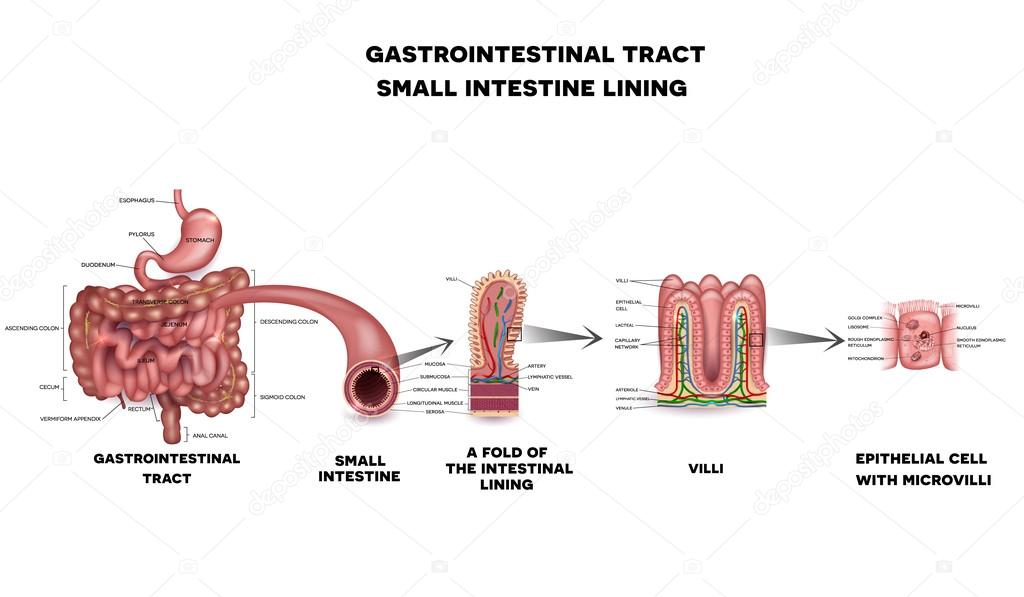Magen-Darm-System Dünndarm Anatomie — Stockvektor © megija #109836446