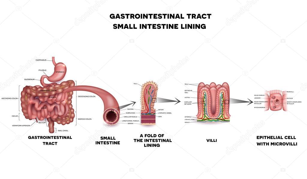 Gastro-intestinale systeem dunne darm anatomie — Stockvector ...