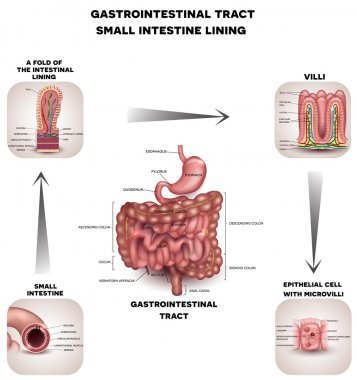 Normal Gastrointestinal tract and small intestine detailed anato