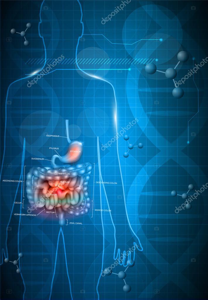 Anatomía del tracto gastrointestinal — Vector de stock © megija ...