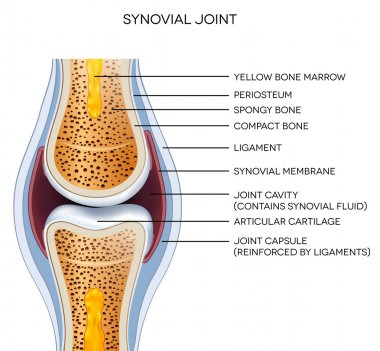 Labeled joint anatomy