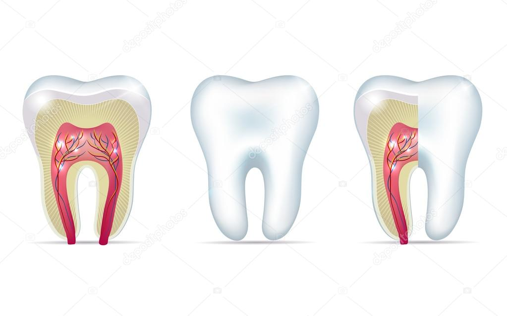 Drei-Zahn-Anatomie-Illustrationen — Stockvektor © megija #59537399