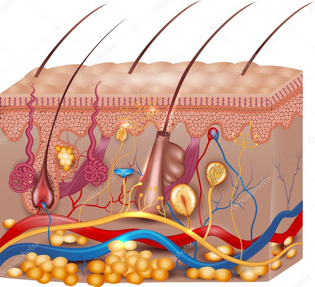 Anatomía de la piel — Vector de stock © megija #62789539