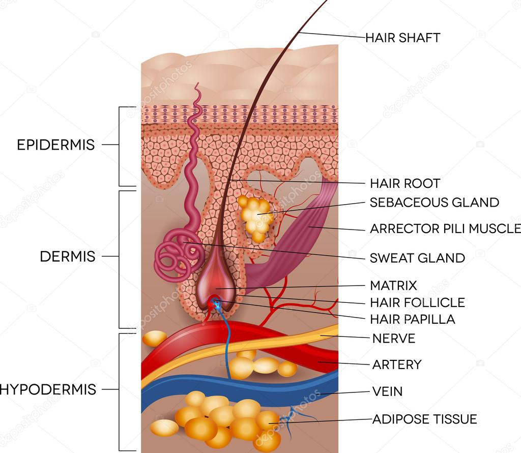 Labeled Skin and hair anatomy — Stock Vector © megija #64308383