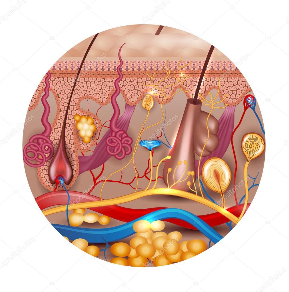 Anatomía de la piel en forma redonda — Vector de stock © megija ...