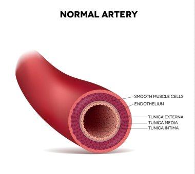 Healthy human elastic artery