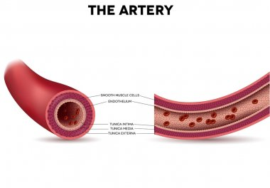 Healthy artery anatomy