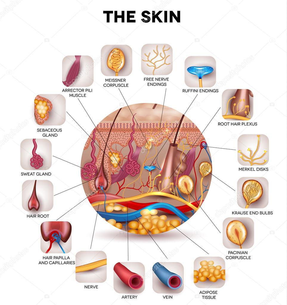 Anatomía de la piel — Vector de stock © megija #70176109