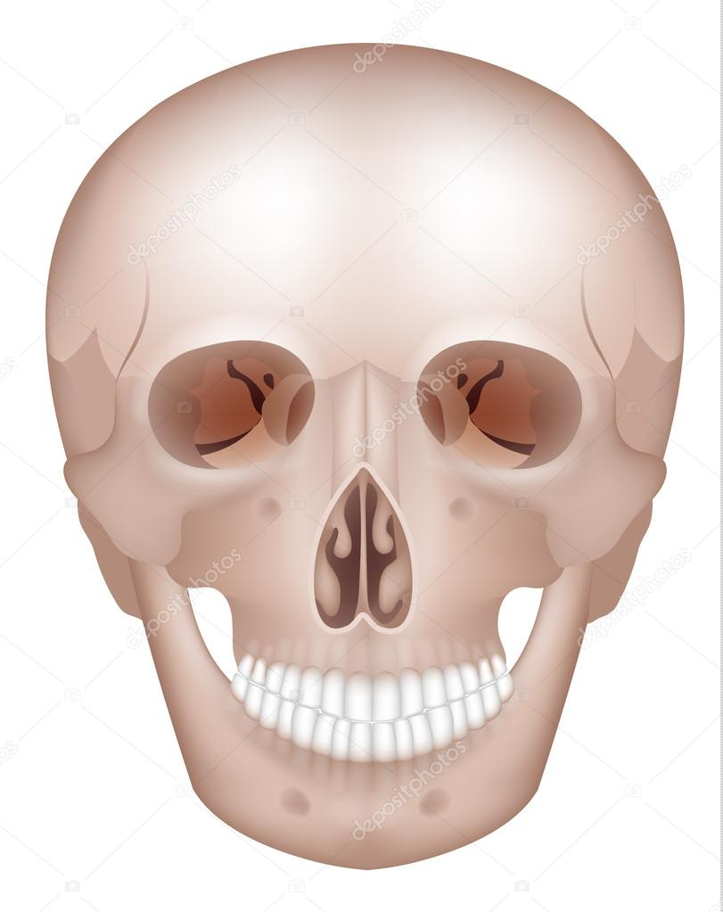 Cráneo humano detallada anatomía — Archivo Imágenes Vectoriales ...