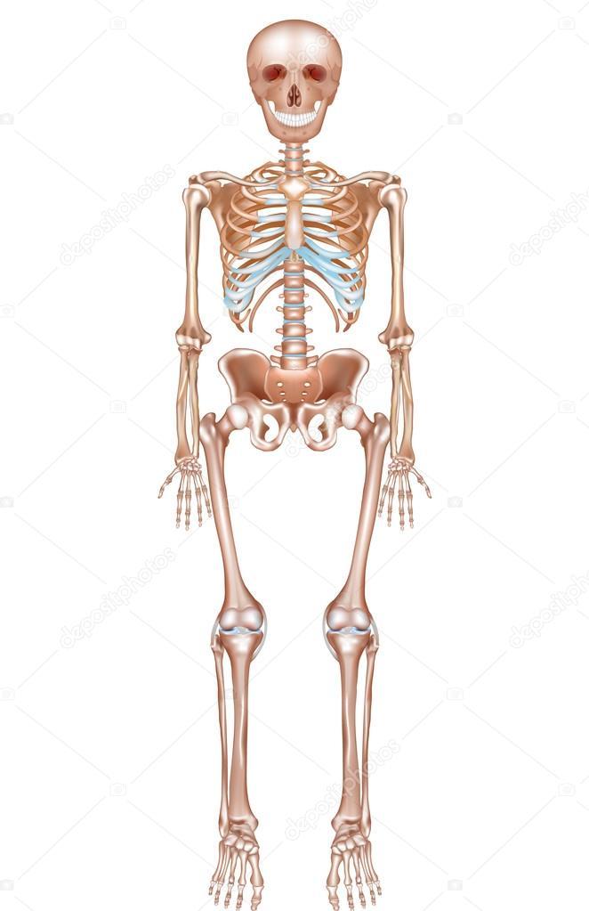 das menschliche Skelett — Stockvektor © megija #73210173