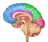 Fotografie Human brain lobes