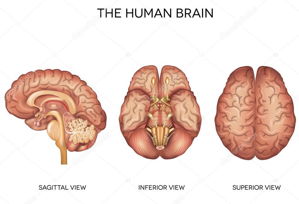 Anatomía detallada del cerebro humano — Archivo Imágenes Vectoriales ...