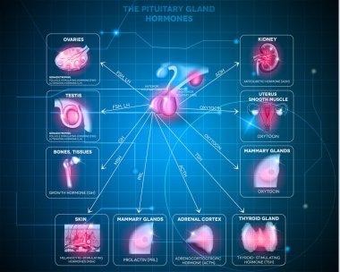 Pituitary gland hormones background