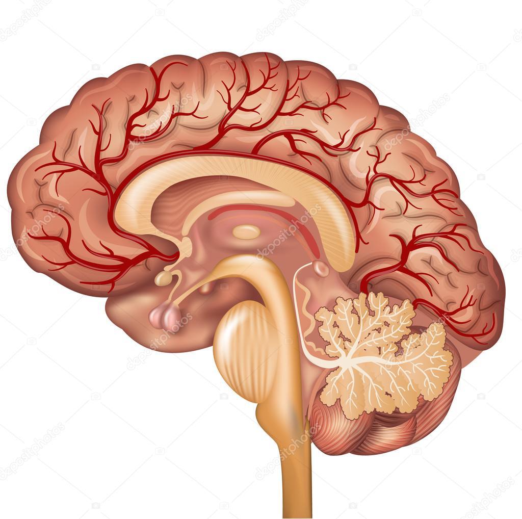 Cerebro y los vasos sanguíneos del cerebro — Archivo Imágenes ...