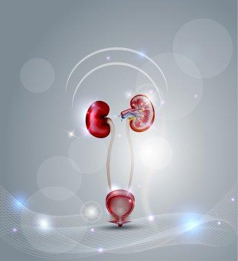 Urinary bladder and kidneys
