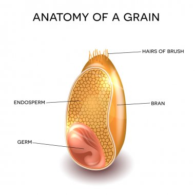 Cross section of a grain