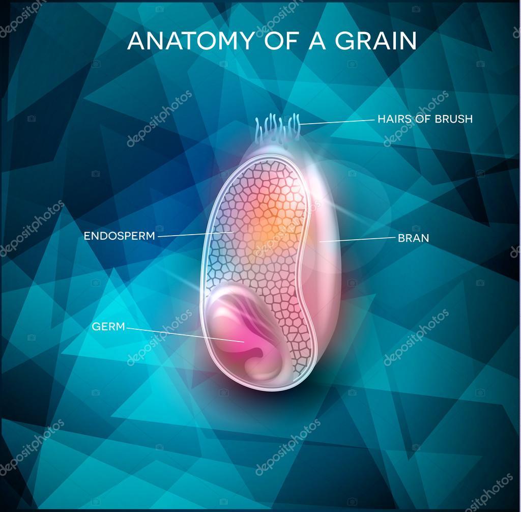 Anatomía del grano en un fondo hermoso — Archivo Imágenes ...