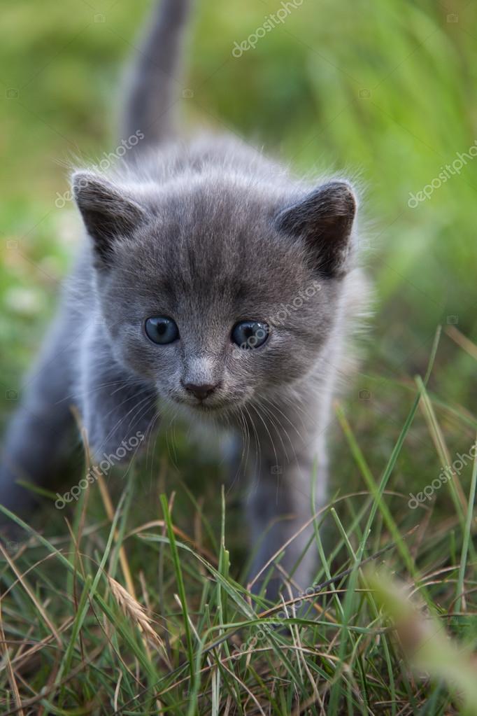 little smoky blue cat in green summer grass