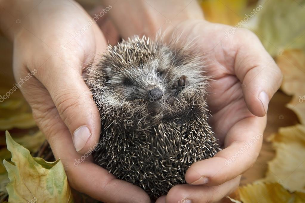charming hedgehog in male hands on a background of autumn leaves