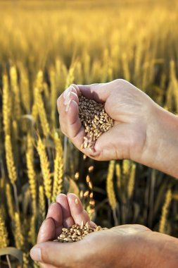 wheat in the hands of men on the background field