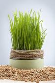 Fotografie pšeničných klíčků semen zelené pěstované v květináči