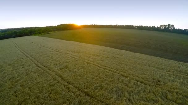 flying over the wheat fields