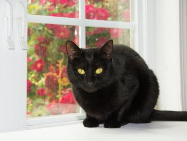 Beautiful black cat sitting in front of a window, with red roses on the background