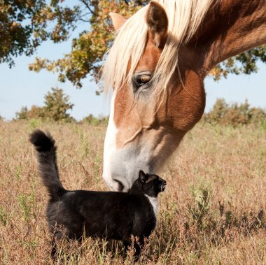 Small black and white cat rubbing himself against a huge Belgian Draft horse