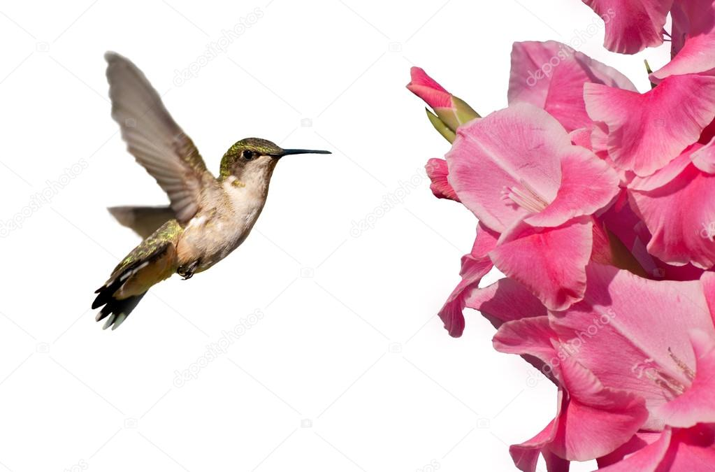 Hummingbird hovering next to a Gladiolus flower, isolated on white